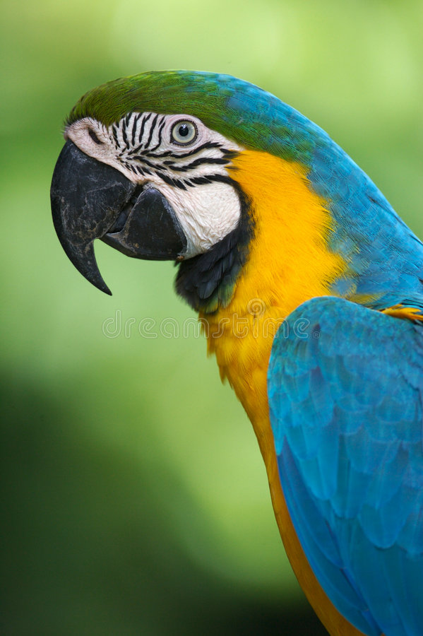Blue & Yellow Macaw stock images