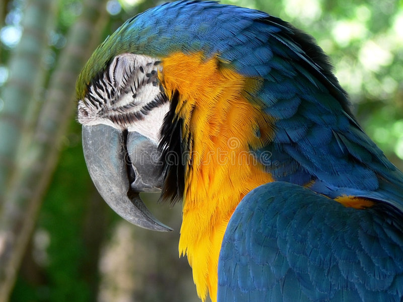 Download Blue And Yellow Macaw Royalty Free Stock Photo - Image: 4053465