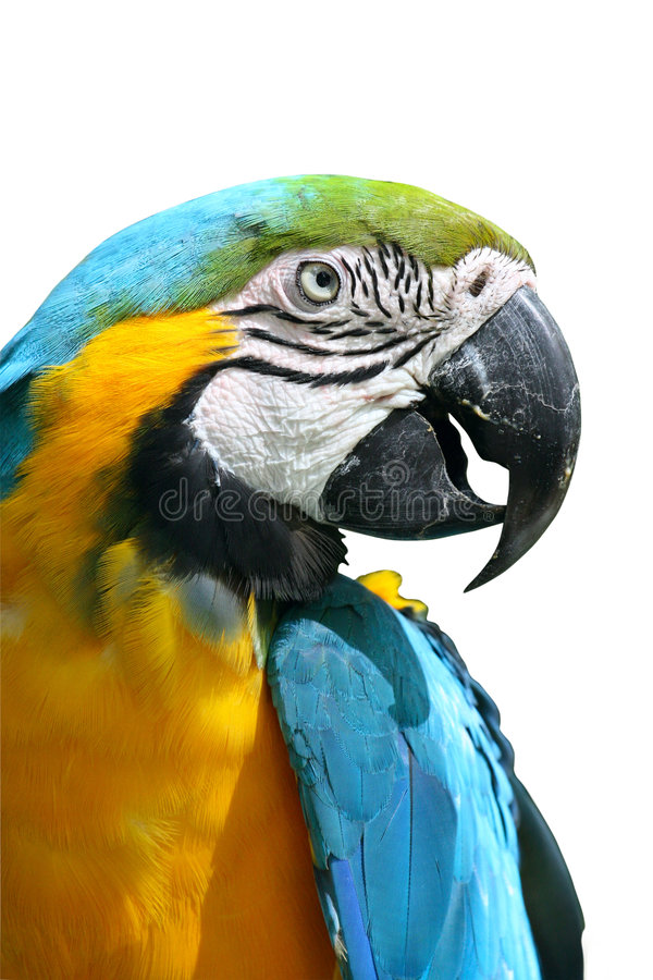 A Blue and Yellow Macaw. Isolated in white royalty free stock photography