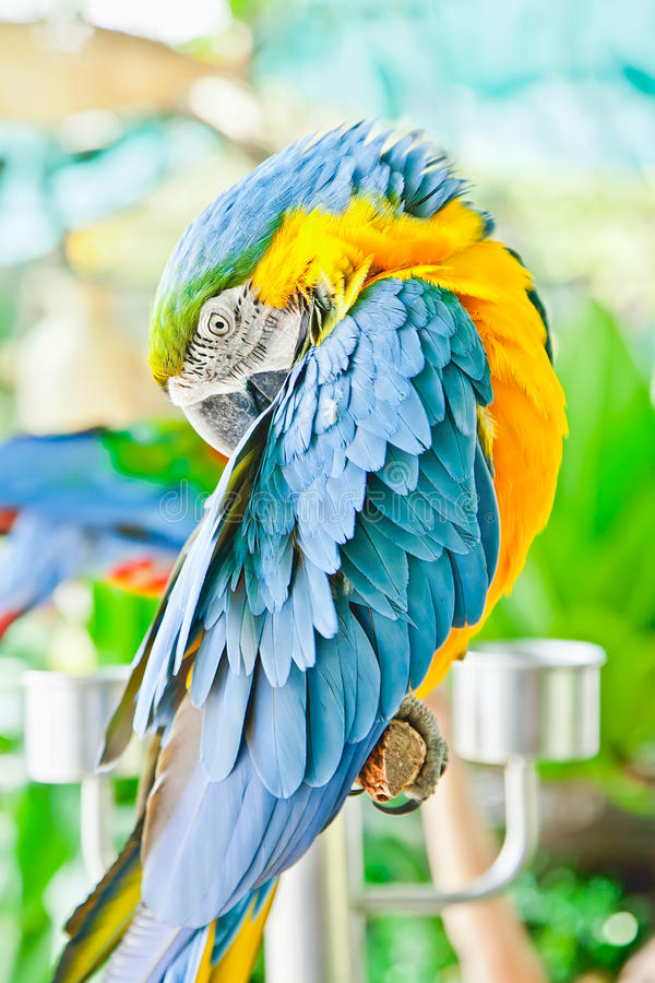 Blue and yellow macaw. The blue and yellow macaw stock photography