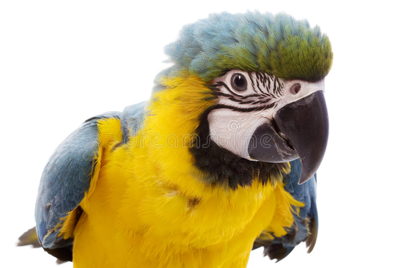 Download Blue-and-yellow Macaw stock image. Image of space, nature - 7201301