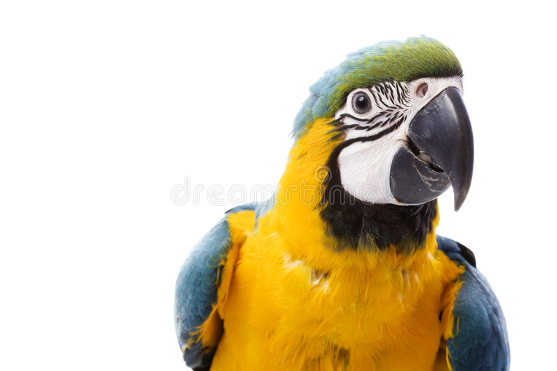 Download Blue-and-yellow Macaw stock photo. Image of alertness - 7201318
