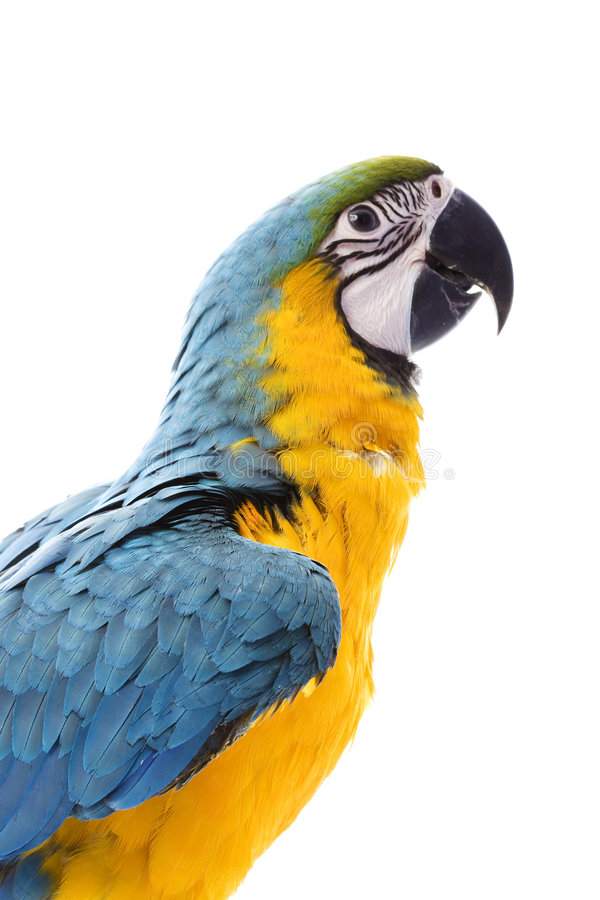 Blue-and-yellow Macaw. (Ara ararauna) on white background royalty free stock photography