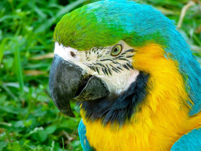 A Blue-and-Yellow Macaw stock photography