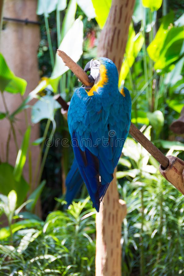The blue-and-yellow macaw, also known as the blue-and-gold macaw. Is a large South American parrot with blue top parts and yellow under parts. It is a member stock photos