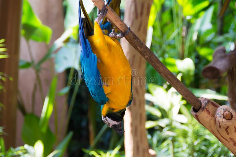 The blue-and-yellow macaw, also known as the blue-and-gold macaw. Is a large South American parrot with blue top parts and yellow under parts. It is a member stock image