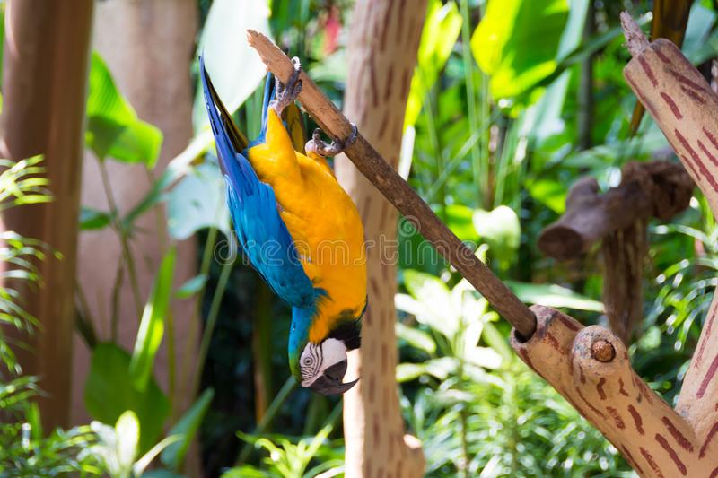 The blue-and-yellow macaw, also known as the blue-and-gold macaw. Is a large South American parrot with blue top parts and yellow under parts. It is a member royalty free stock photos