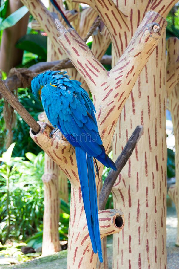 The blue-and-yellow macaw, also known as the blue-and-gold macaw. Is a large South American parrot with blue top parts and yellow under parts. It is a member royalty free stock image