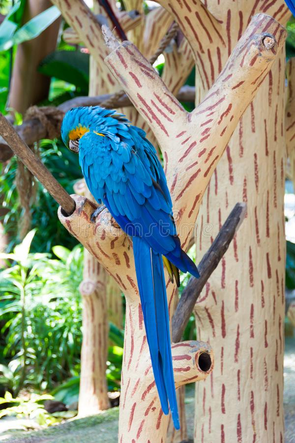 The blue-and-yellow macaw, also known as the blue-and-gold macaw. Is a large South American parrot with blue top parts and yellow under parts. It is a member royalty free stock images