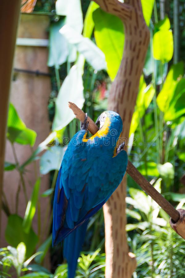 The blue-and-yellow macaw, also known as the blue-and-gold macaw. Is a large South American parrot with blue top parts and yellow under parts. It is a member stock photo