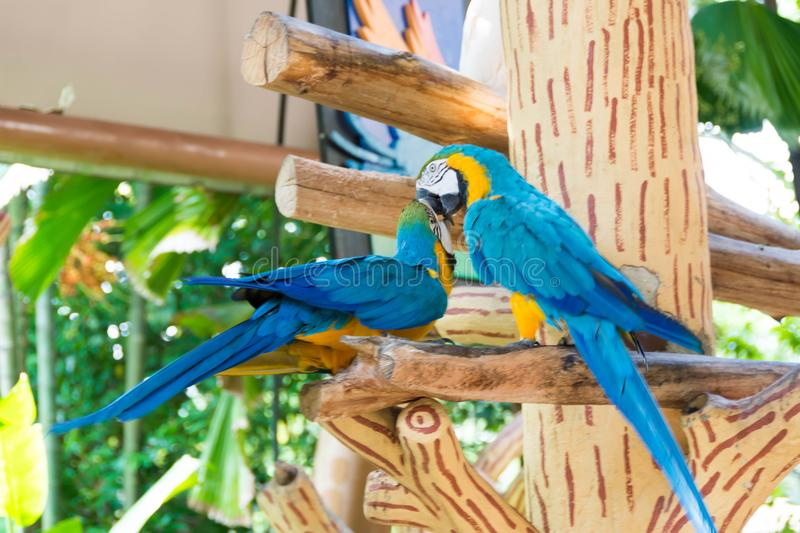 The blue-and-yellow macaw, also known as the blue-and-gold macaw. Is a large South American parrot with blue top parts and yellow under parts. It is a member royalty free stock photography