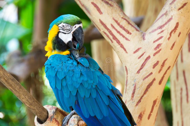 The blue-and-yellow macaw, also known as the blue-and-gold macaw. Is a large South American parrot with blue top parts and yellow under parts. It is a member stock photography