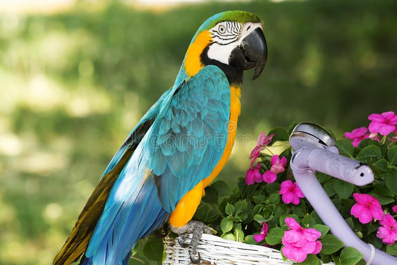 Blue and yellow macaw. Ara ararauna stock photo