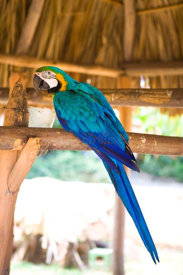 Blue And Yellow Macaw Ara Ararauna Royalty Free Stock Photos