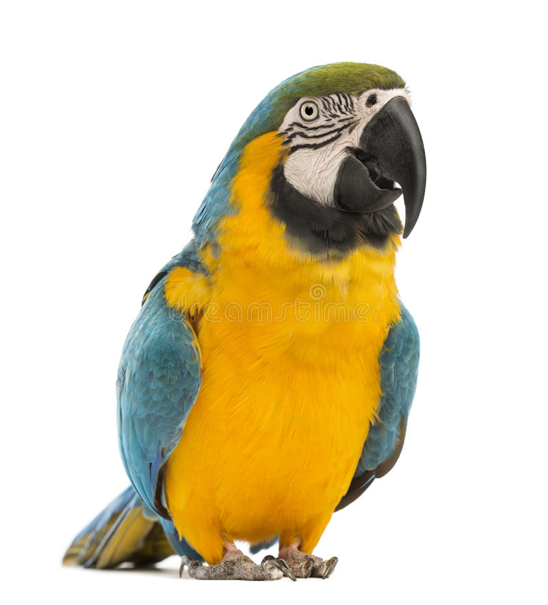 Blue-and-yellow Macaw, Ara ararauna, 30 years old stock photography
