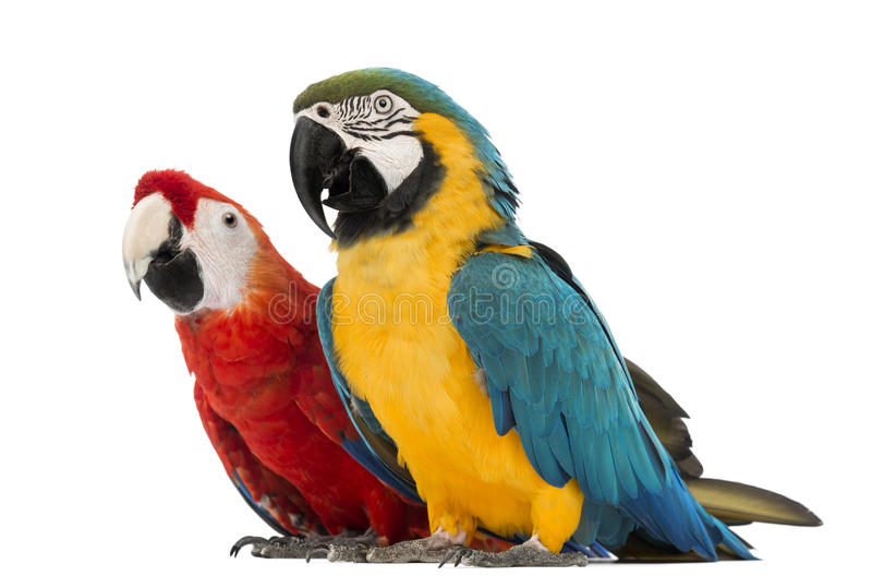 Blue-and-yellow Macaw, Ara ararauna, 30 years old, and Green-winged Macaw, Ara chloropterus, 1 year old. In front of white background royalty free stock photo