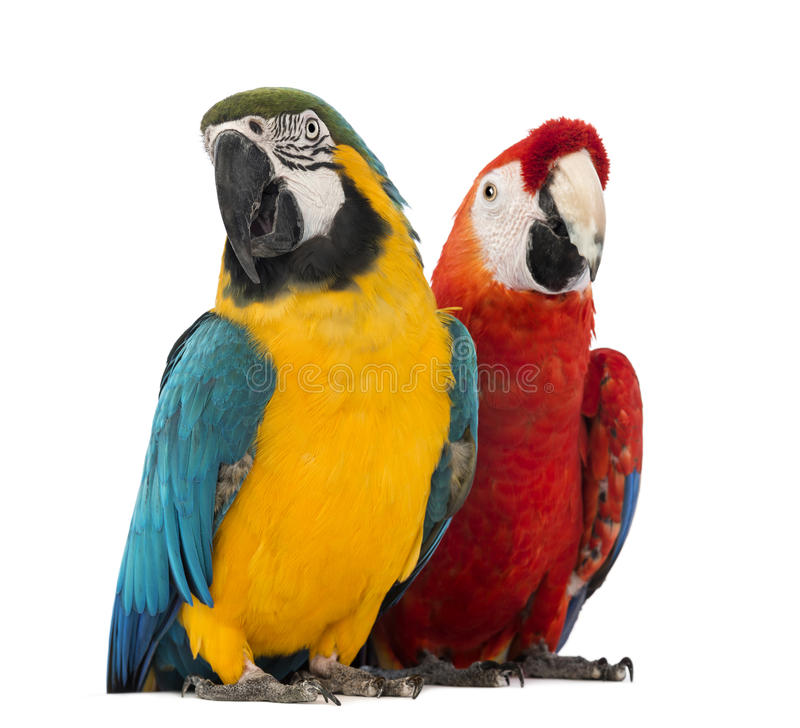 Blue-and-yellow Macaw, Ara ararauna, 30 years old, and Green-winged Macaw, Ara chloropterus, 1 year old. In front of white background stock image