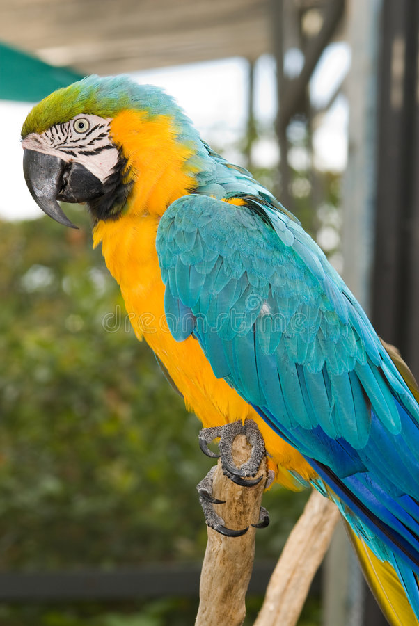 Blue-and-yellow Macaw (Ara ararauna) royalty free stock photography