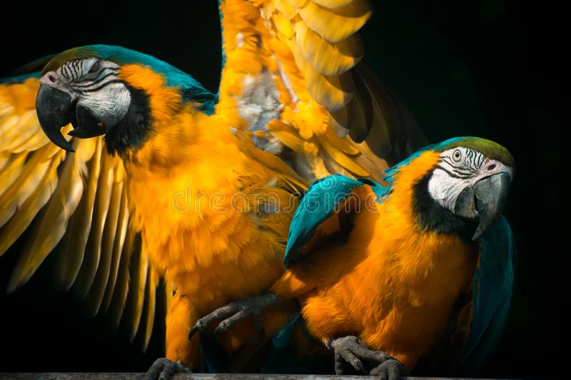 The blue-and-yellow macaw Ara ararauna, aka the blue-and-gold macaw. One of the beautiful specie found in Tropical South america stock images