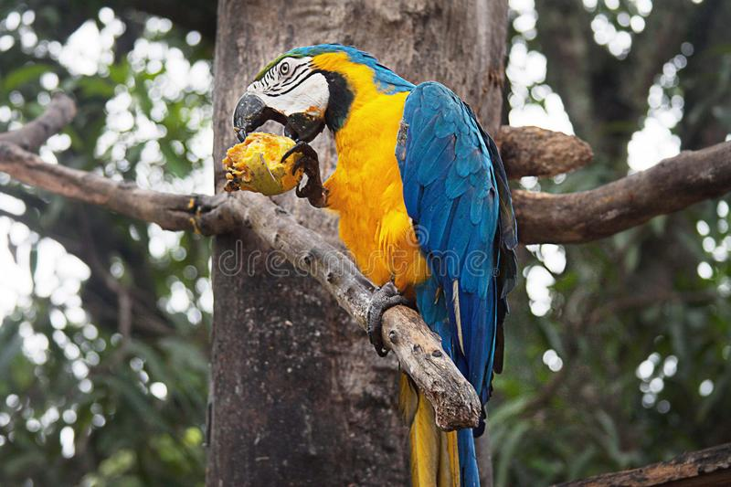 A Blue and Yellow Macaw on a Tree. The blue-and-yellow macaw Ara ararauna, also known as the blue-and-gold macaw, is a large South American parrot with blue top royalty free stock photos