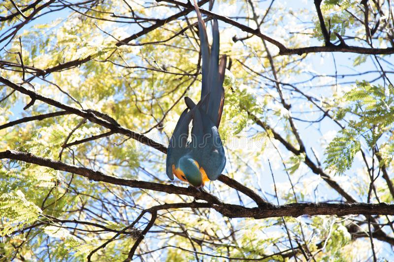 A Blue and Yellow Macaw on a Tree. The blue-and-yellow macaw Ara ararauna, also known as the blue-and-gold macaw, is a large South American parrot with blue top royalty free stock photography