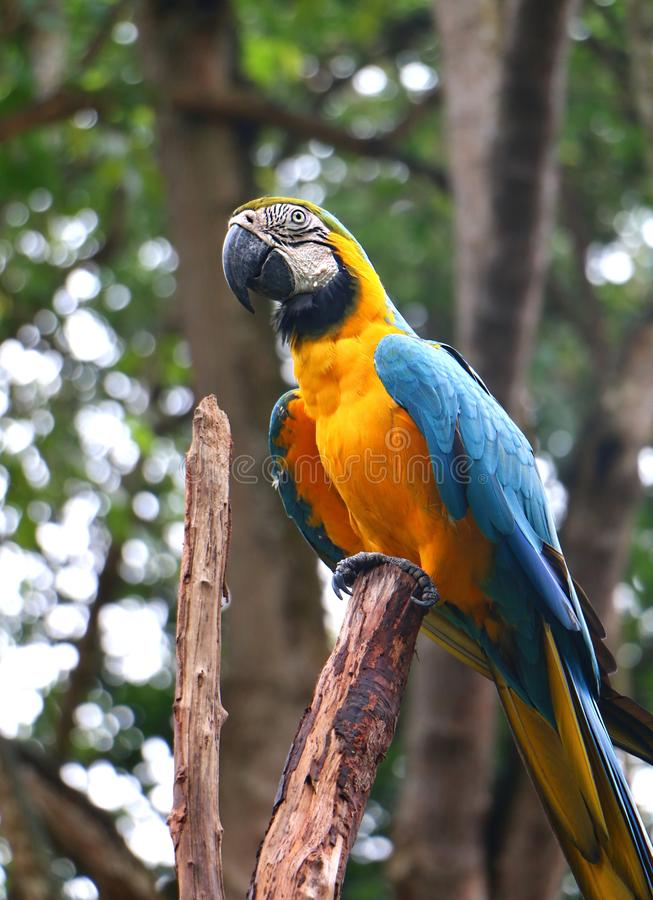 Blue and yellow macaw Ara ararauna. Also known as the blue and gold macaw royalty free stock photography