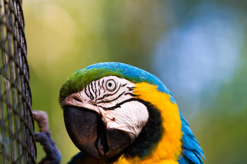 The blue-and-yellow macaw. Ara ararauna, also known as the blue-and-gold macaw stock photo
