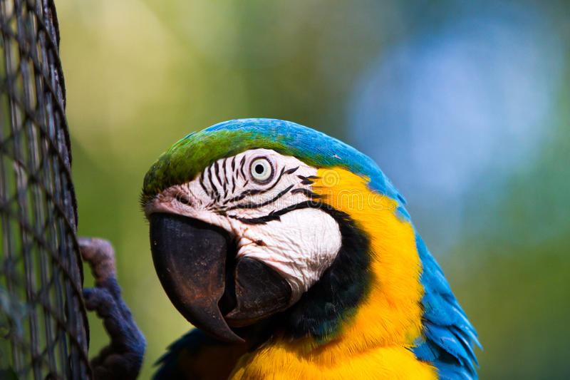 The blue-and-yellow macaw. Ara ararauna, also known as the blue-and-gold macaw royalty free stock photos