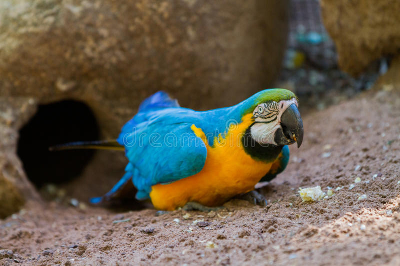 The blue-and-yellow macaw. Ara ararauna, also known as the blue-and-gold macaw royalty free stock image