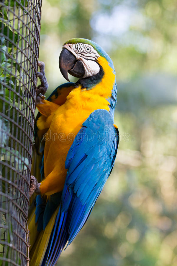The blue-and-yellow macaw. Ara ararauna, also known as the blue-and-gold macaw royalty free stock photo