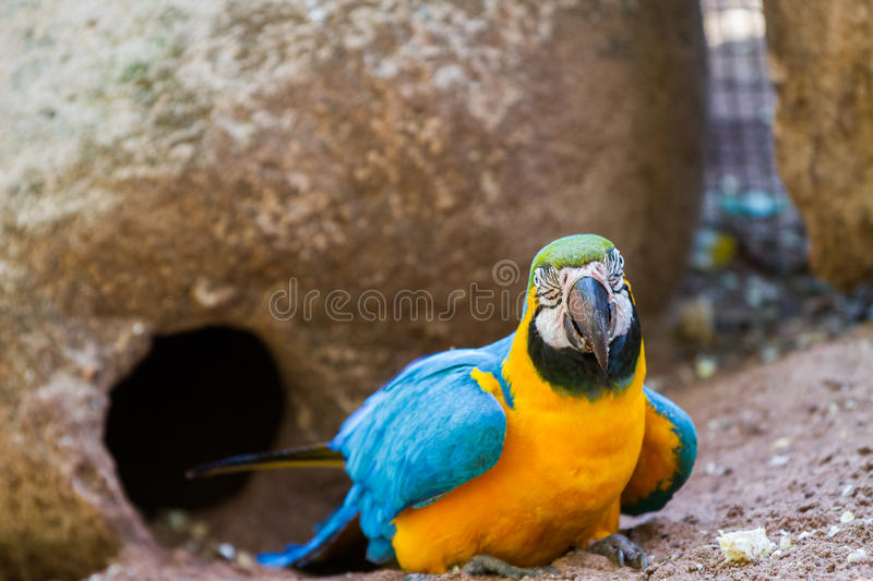 The blue-and-yellow macaw. Ara ararauna, also known as the blue-and-gold macaw stock photos