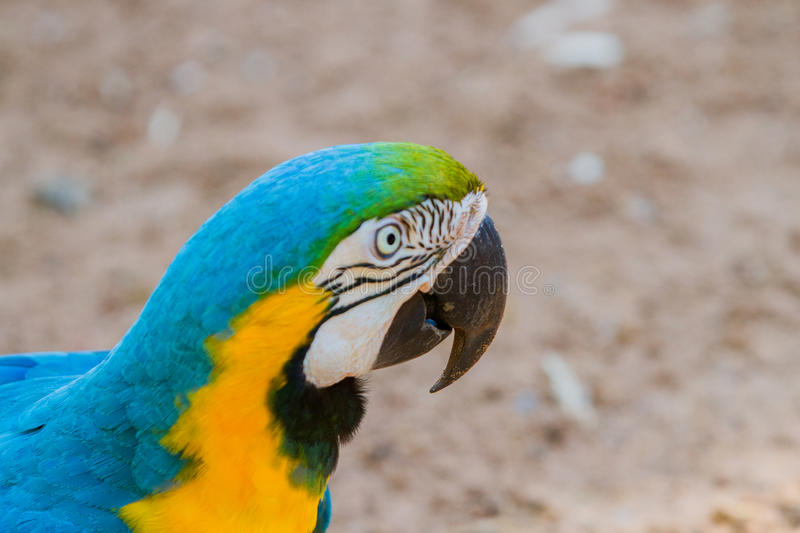 The blue-and-yellow macaw. Ara ararauna, also known as the blue-and-gold macaw stock photography