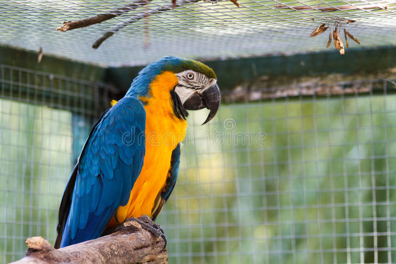 Blue-and-Yellow Macaw Ara ararauna. Blue-and-Yellow Macaw Ara ararauna, also known as the Blue-and-Gold Macaw royalty free stock photos