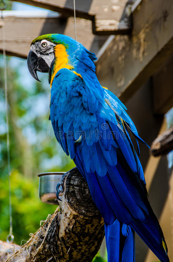 Blue and Yellow Macaw. The Blue-and-yellow Macaw (Ara ararauna), also known as the Blue-and-gold Macaw, is a large South American parrot stock photography