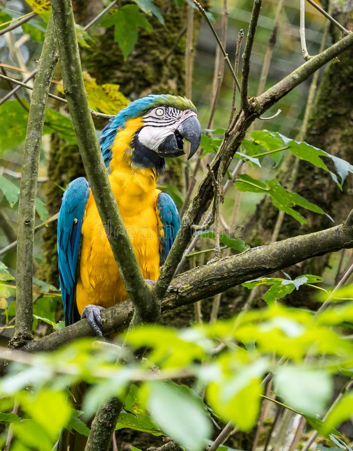 The Blue-and-yellow Macaw, Ara ararauna is a large South American parrot. The Blue-and-yellow Macaw, Ara ararauna also known as the blue-and-gold macaw, is a royalty free stock photography