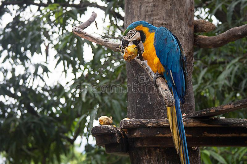A Blue and Yellow Macaw on a Tree. The blue-and-yellow macaw Ara ararauna, also known as the blue-and-gold macaw, is a large South American parrot with blue top royalty free stock photo