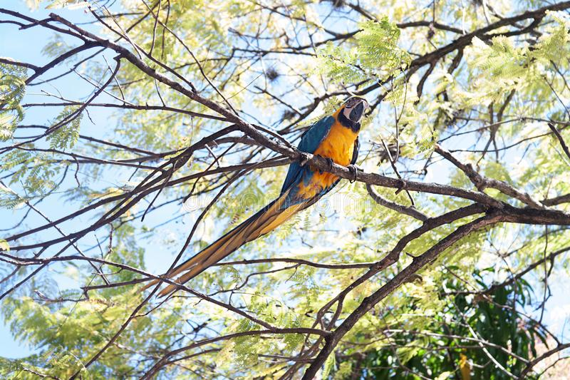 A Blue and Yellow Macaw on a Tree. The blue-and-yellow macaw Ara ararauna, also known as the blue-and-gold macaw, is a large South American parrot with blue top stock images
