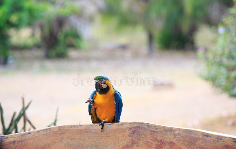 Blue and yellow headed Macvaw perched on a bench with front leg elevated. Blue and yellow Macaw Ara ararauna, also known as Blue-and-gold Macaw. This Macaw lives royalty free stock photos