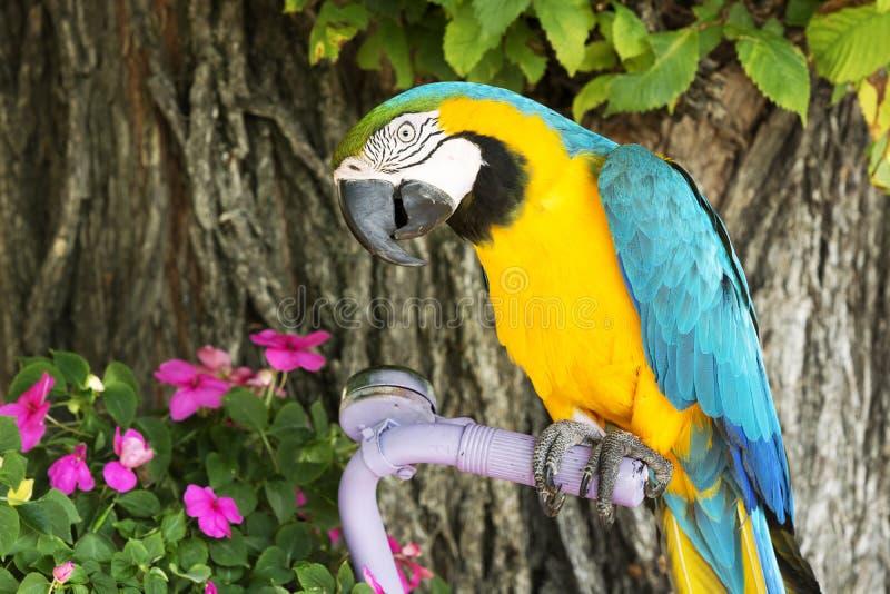 Blue and yellow macaw. Ara ararauna stock image