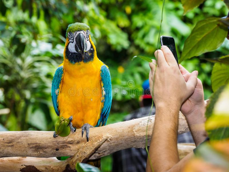 Blue-and-yellow Macaw - Ara Ararauna. Posing for a photographer with smartphone stock photos