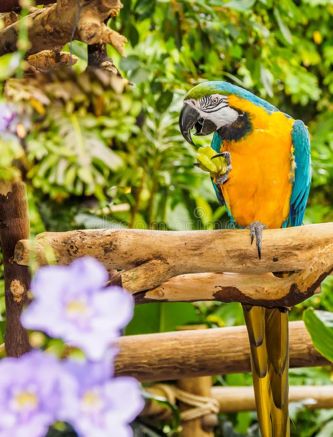 Blue-and-yellow Macaw - Ara Ararauna. With star fruit in claw stock photo