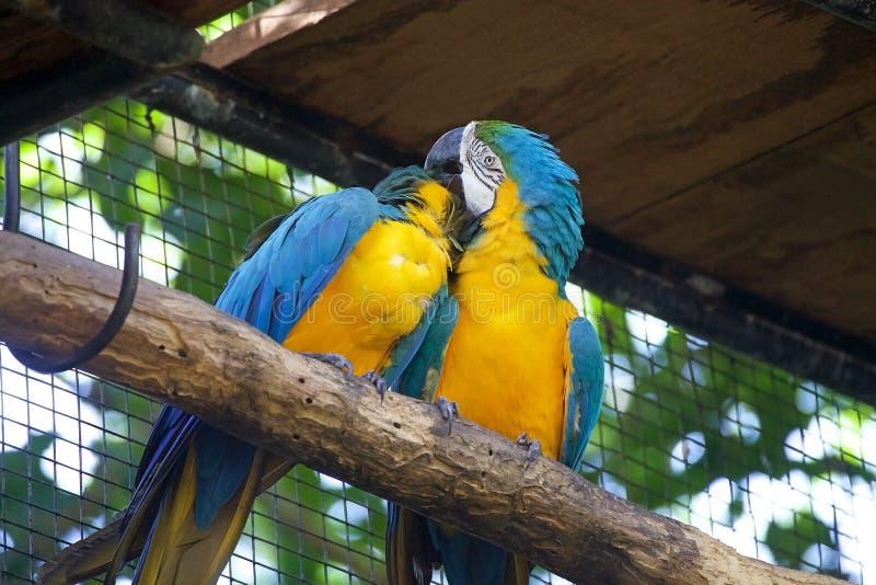 Blue-and-yellow macaw Ara ararauna, Brazil royalty free stock photos