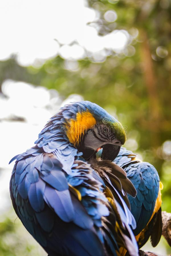 Blue and Yellow Macaw Ara ararauna. Closeup of the Blue and Yellow Macaw Ara ararauna royalty free stock photography