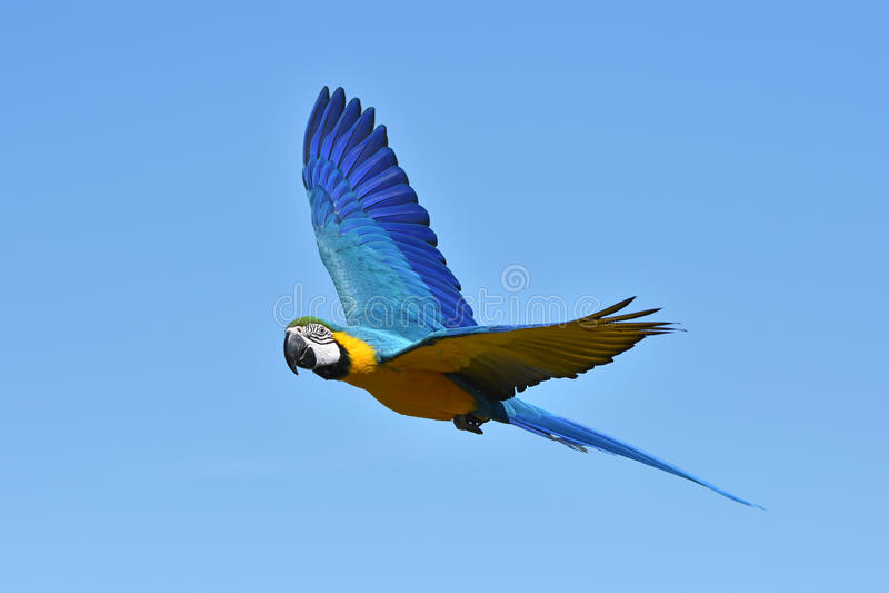Blue and yellow Macaw (Ara ararauna) stock image