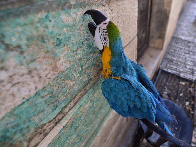 Blue-and-yellow macaw. Blue and yellow macaw, Ara ararauna in Israel royalty free stock photos