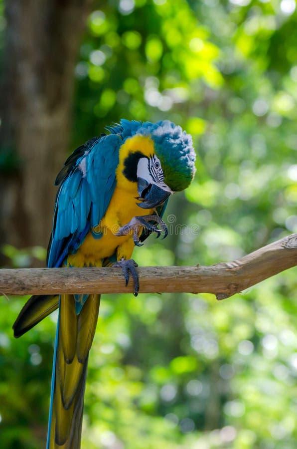 Blue and yellow macaw. Blue-and-yellow macaw or Ara ararauna in jungle royalty free stock image