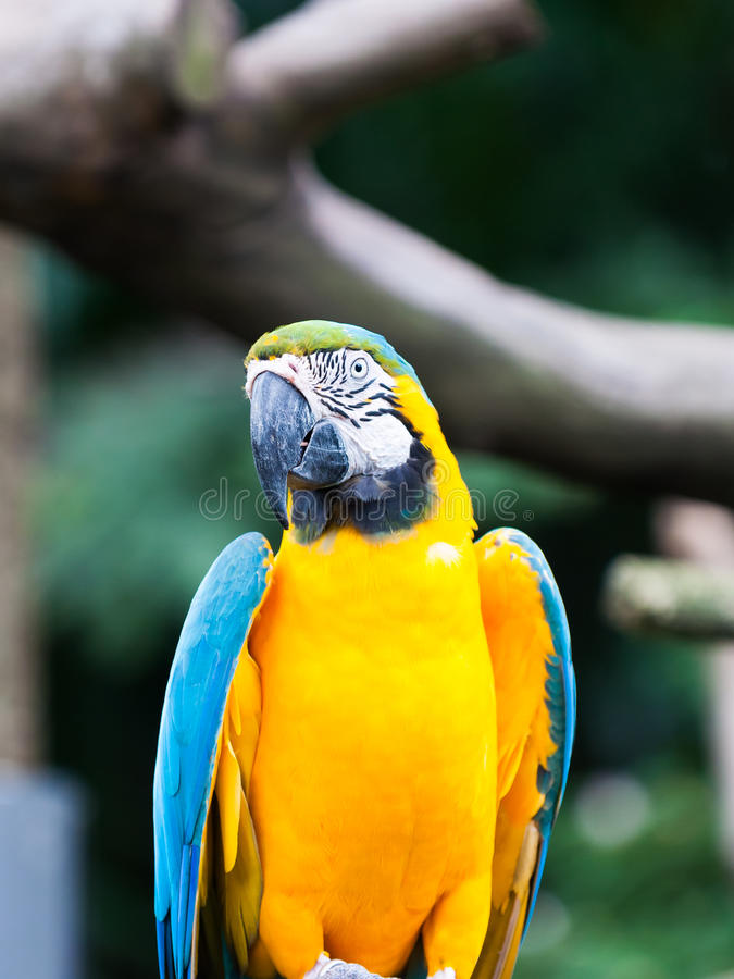 Download Blue-and-yellow Macaw stock image. Image of captivity - 36945971