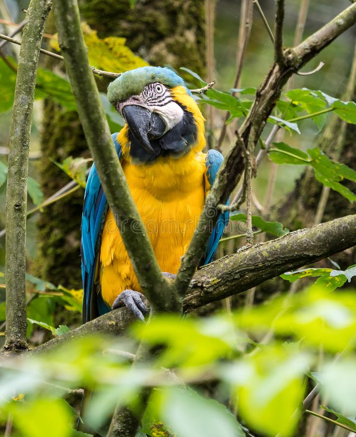 The Blue-and-yellow Macaw, Ara ararauna is a large South American parrot. The Blue-and-yellow Macaw, Ara ararauna also known as the blue-and-gold macaw, is a stock image