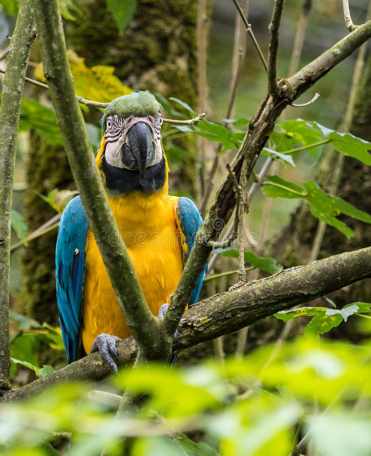 The Blue-and-yellow Macaw, Ara ararauna is a large South American parrot. The Blue-and-yellow Macaw, Ara ararauna also known as the blue-and-gold macaw, is a royalty free stock image