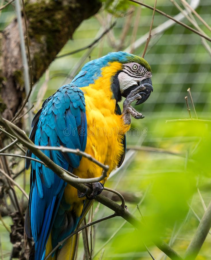 The Blue-and-yellow Macaw, Ara ararauna is a large South American parrot. The Blue-and-yellow Macaw, Ara ararauna also known as the blue-and-gold macaw, is a stock images